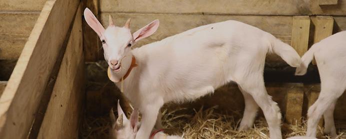 Pittika - la petite chèvre basque